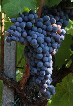 Red Romanian wine black from Dragasani, Negru